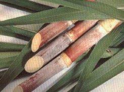 plantacoes-de-cana-11